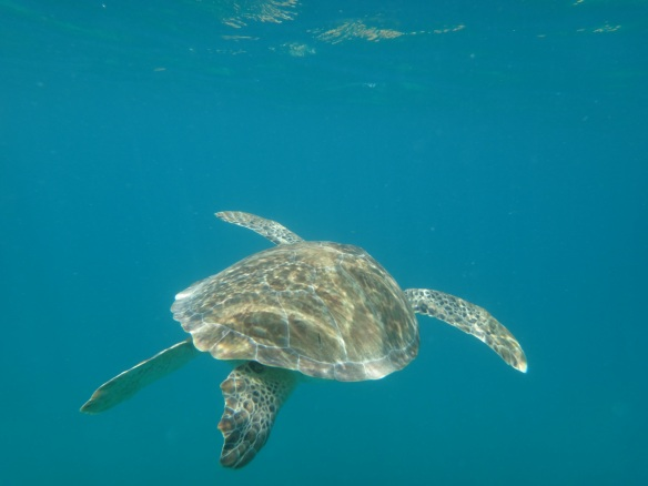 Swimming With The Sea Turtles in Saint Maarten